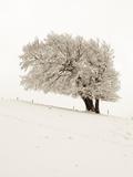 Hoar frost on beech trees in the Black Forest in winter