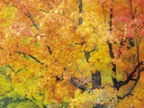Red Maple in Autumn Foliage  Canada