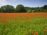Poppy field  Chiusi  Italy