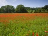 Poppy field  Chiusi  Italy