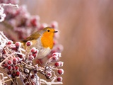 Robin Perching on a Frost-Covered Branch