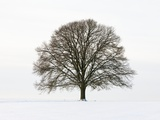 Old oak tree on a field in snow