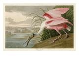 Roseate Spoonbill Giclée par John James Audubon