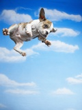 Flying Bulldog Puppy