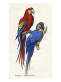 Aracangua and Blue and Yellow Macaw