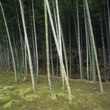 Bamoo Forest in Kyoto