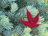 Japanese Maple Leaf on Evergreen