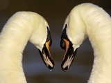Mute Swan Pair During Their Courtship Ritual