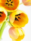 Yellow and orange tulips