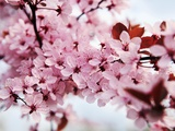 Japanese Cherry Blossom