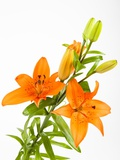Orange lilies