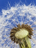 Dandelion seedhead