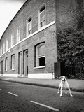Jack Russell Terrier Standing near Curb