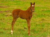 Thoroughbred foal at Stonestreet Farms