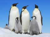 Emperor penguin with group with chicks