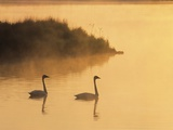 Two Adult Trumpeter Swans (cvanus Buccinator) in Morning Light at the Mouth of Junction Creek  Wald