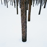 Tree Trunks in Snow