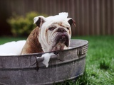 Bulldog Bathing In Washtub