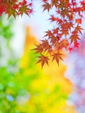 Autumnal Maple Trees