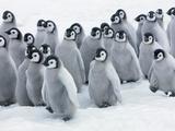 Emperor Penguin Chicks Papier Photo par Frank Krahmer