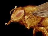Head of a Honeybee