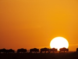 Herd of migrating Wildebeest