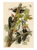 Grand pic Giclée par John James Audubon