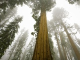 Giant Sequoia trees in snow and fog in Sequoia National Park