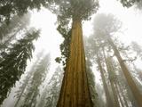Giant Sequoia trees in snow and fog in Sequoia National Park Papier Photo par John Eastcott & Yva Momatiuk