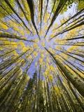 Golden Aspen Trees Seen From Below Papier Photo par John Eastcott & Yva Momatiuk