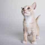 White and tan kitten