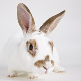 White and tan rabbit