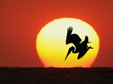 Brown Pelican Diving in Front of Setting Sun