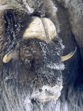 Adult Bull Muskox (Ovibos Moschatus) Covered with Frost Banks Island  Northwest Territories  Arcti