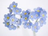 Arctic forget-me-nots