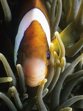 Barrier Reef Anemonefish in Lembeh Strait