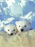 Three-month Old Twin Polar Bear Cubs (Ursus Maritimus) Resting on Their Mother's Back  Coastal Huds