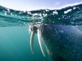 Walrus Swimming at Water Surface Near Tiholmane Island