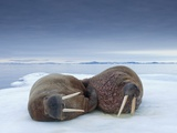 Walruses lying on ice Papier Photo par Paul Souders