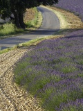 Lavender field and winding road