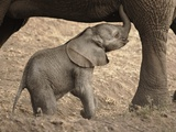 Newborn Baby Elephant Learning to Nurse