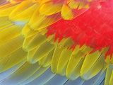Feathers of a Scarlet Macaw