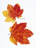 Maple Leaves in Autumn Color