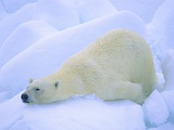 Adult Polar Bear (Ursus Maritimus) Cleaning Its Fur on the Snow Svalbard  Arctic Norway