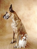 Papillon and Great Dane