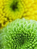 Green and yellow Chrysanthemums