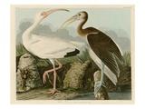 Ibis blanc Giclée par John James Audubon