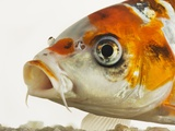Face of koi fish