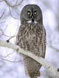 Adult Great Gray Owl (Strix Nebulosa) Hunting in a Winter Roadside  Northern Alberta  Canada