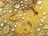 Water drops on a maple leaf